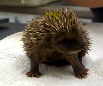 Wildlife sanctuary shares video of baby hedgehogs sneezing
