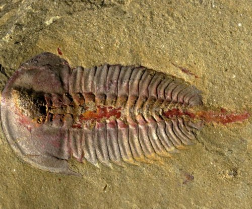 Trilobites had a stomach, new fossils show