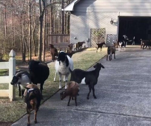 Police wrangle goats, donkey that walked off lawn care job