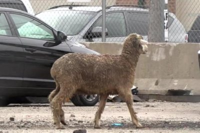 Authorities chase sheep through Chicago neighborhood