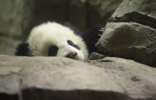 Panda Bao Bao celebrates first birthday