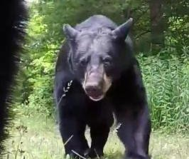Curious bears smack and taste photographer's GoPro camera