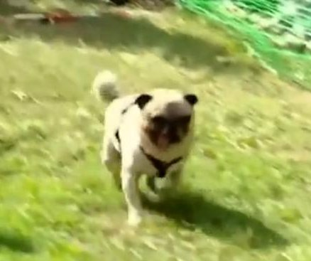 Champion racing dog dubbed 'Usain Bolt of pugs'