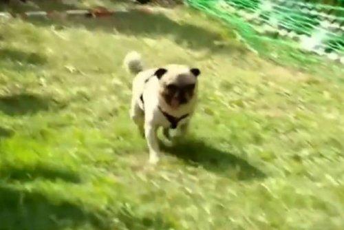 Champion racing dog dubbed 'Usain Bolt of pugs'