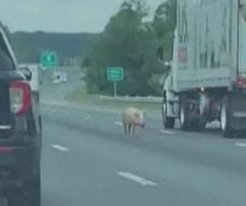 Escaped pigs cause traffic chaos on Virginia highway