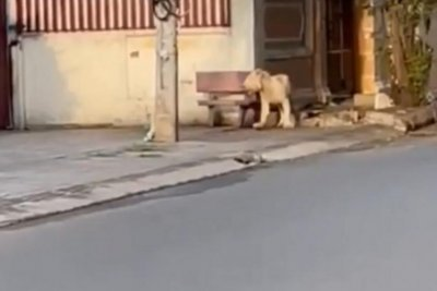 Escaped lion wanders streets of Cambodian capital