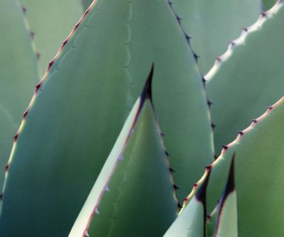 Agave genes could inspire new drought-resistant plants
