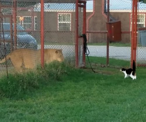 Cat repeatedly tries to intimidate lion at Texas sanctuary