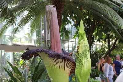 Corpse flowers' smelly blooms draw thousands in D.C.