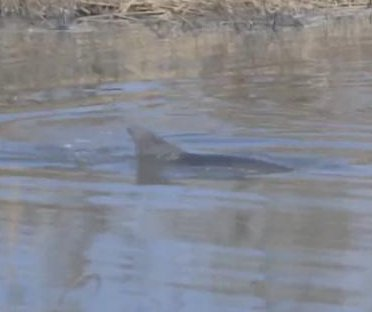 Watch: Dolphin rescued from pond 9 miles inland after hurricane