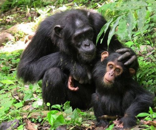 Great apes communicate cooperatively, like humans