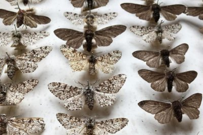Scientists confirm theory of Darwin's moth
