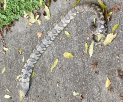 Exotic venomous snake rescued at British sewage plant