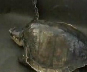 Coast Guard gives turtle a lift from Oregon to California