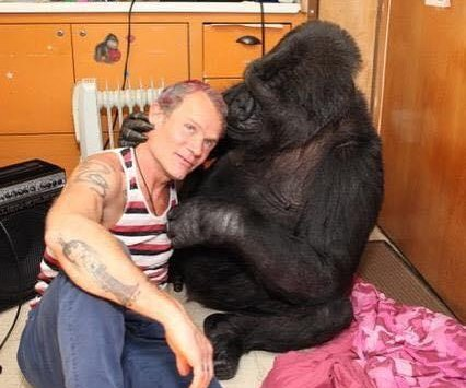 Koko the gorilla rocks out on bass with The Red Hot Chili Peppers' Flea