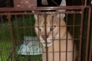 Escaped African caracal cat safely recaptured in Michigan