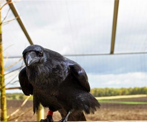 Ravens and crows are as clever as chimpanzees