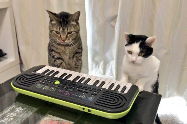 Bell Ringing Japanese Cats Play Keyboard