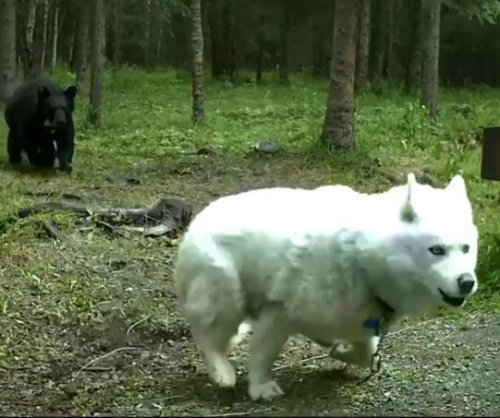Husky fights off black bear at campsite in Alaska