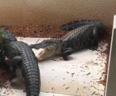 Knocking on Florida couple's door were two alligators fighting