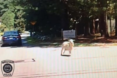 Watch: Sheep evades capture on streets of Massachusetts town - UPI com