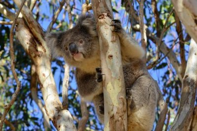 Koala virus could explain junk DNA in the human genome