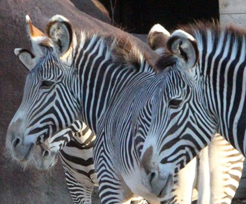 Form over function, zebra stripes not for camouflage