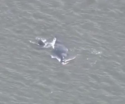 Endangered whale and calf wander into Florida inlet