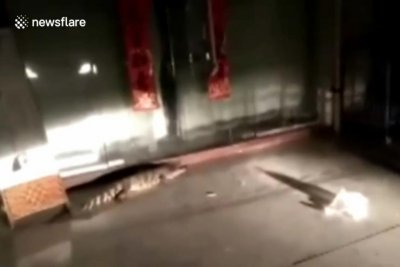 Firefighters in China capture escaped alligator in front of house