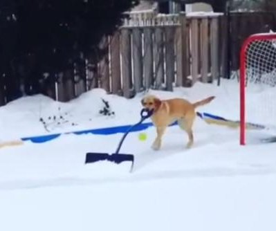 Dog caught on camera shoveling snow from ice rink