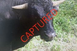 Escaped beefalo captured after 250 days on the loose in Connecticut