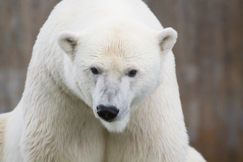 Polar bear broke into Alaska home for seal oil