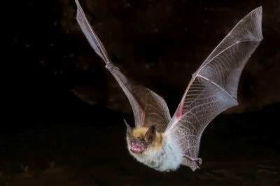 Bats pose biggest threat for rabies, CDC says
