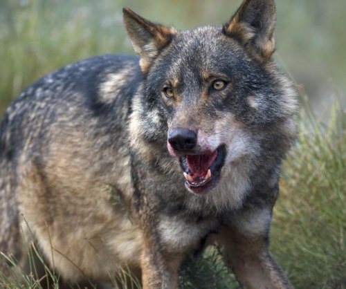 Mad cow disease forced Galician wolves to alter their diets