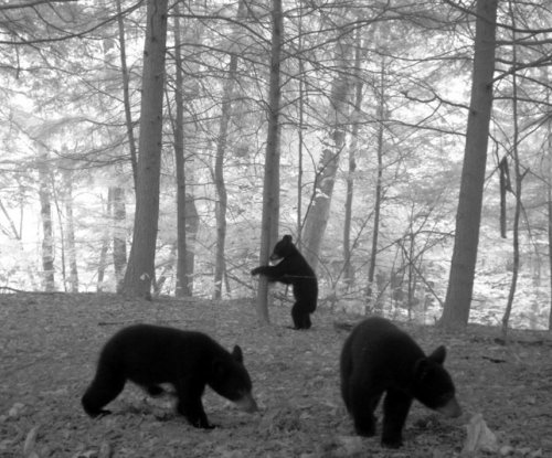 Black bears are headed north in New York