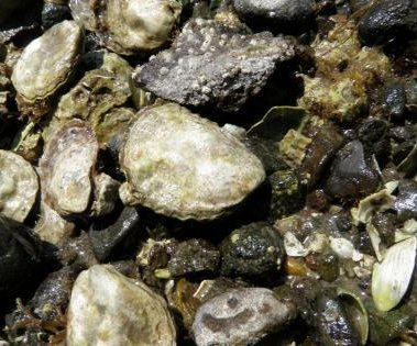 Native oysters make comeback, thrive again in Puget Sound