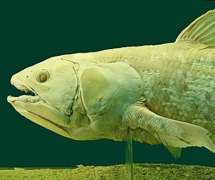 Giant deep sea coelacanths live nearly a century, five times longer than thought