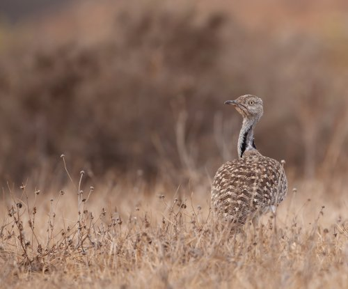 Pakistan's top court bans the hunting of houbara bustard