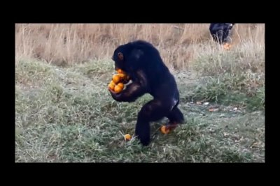 Talented chimp in South Africa shows how to carry 'a dozen oranges at once'