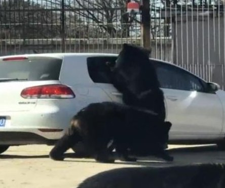 Black bear reaches into car's open window at Beijing safari park