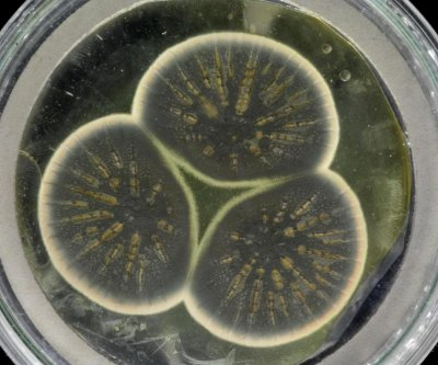 Scientists sequence genome of Alexander Fleming's penicillin mold