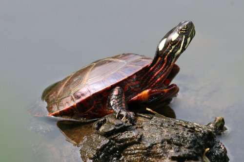 Why some turtles breathe through their butts