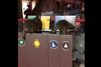 Raccoons rummage through recycling in Canadian university building