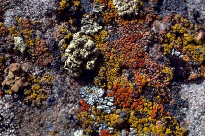 Lichens are much younger than scientists thought