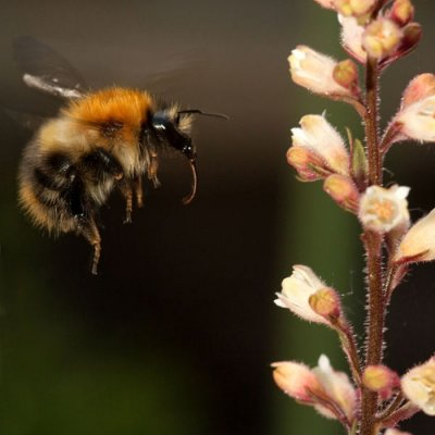 Thousands of bumblebees die in Oregon following pesticide spraying