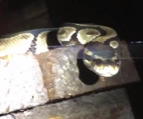 Ball python captured under Florida woman's home
