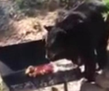 Bear interrupts barbecue to steal food from family's grill