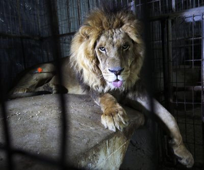Australian zookeeper airlifted after attack by two lions