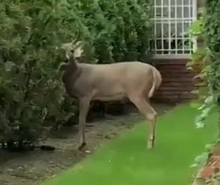 Police chase loose deer through Brooklyn for two hours