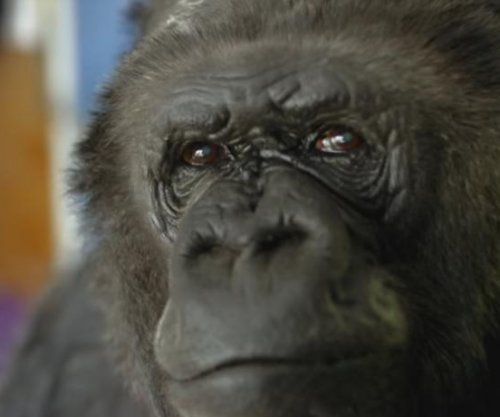 Koko, gorilla famous for her mastery of sign language, dies at 46